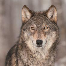 Serviette Weihnachten Wolf in Winterlandschaft, 20 Stück, 33*33cm